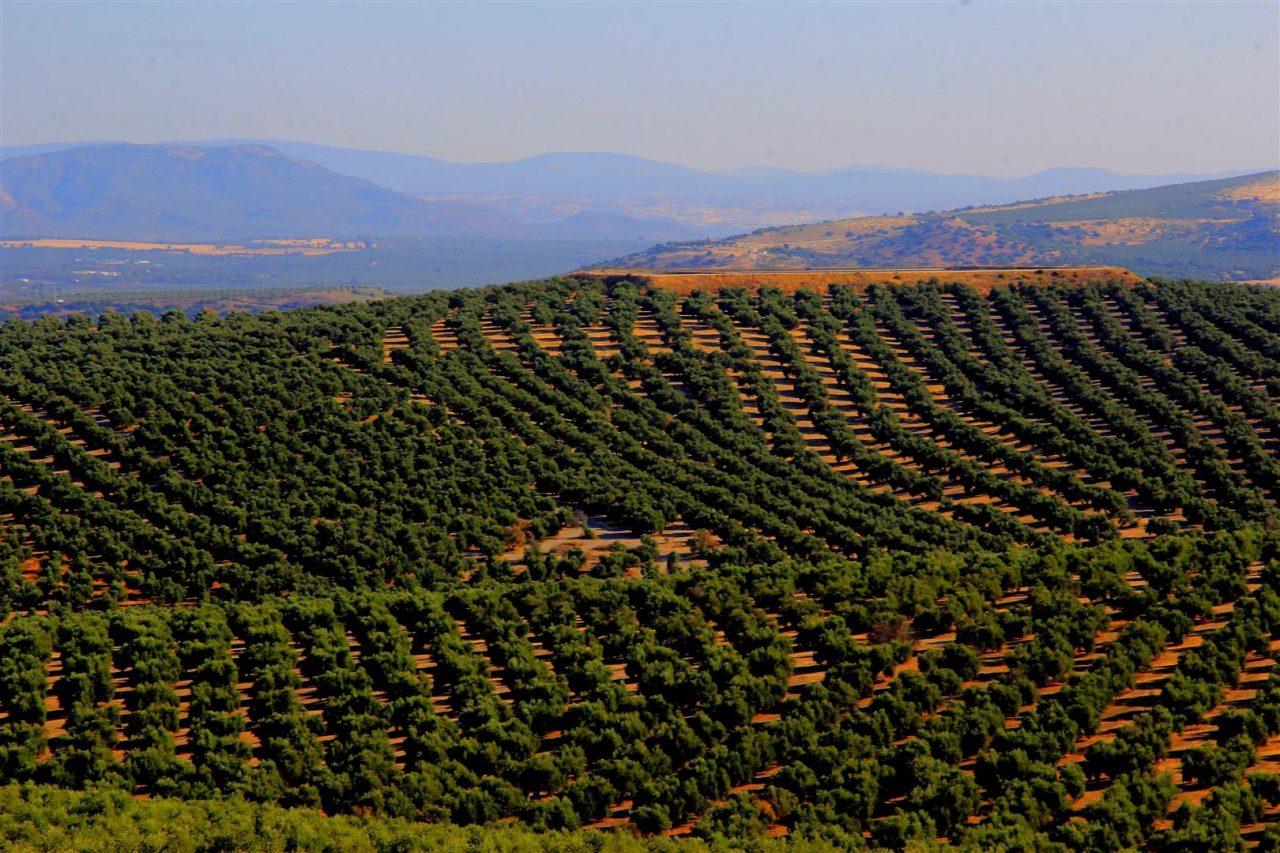 La recolección de la aceituna encara su recta final con una previsión de cosecha de 800.000 toneladas