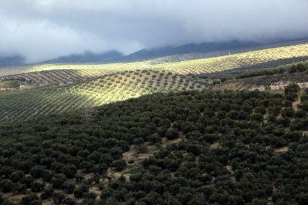 El COI prevé un aumento del consumo mundial de aceite de oliva de un 4,6% en esta campaña respecto a la anterior