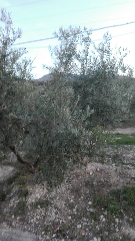 El PSOE pedirá al Parlamento andaluz que el Gobierno central incluya el olivar en pendiente en las ayudas asociadas