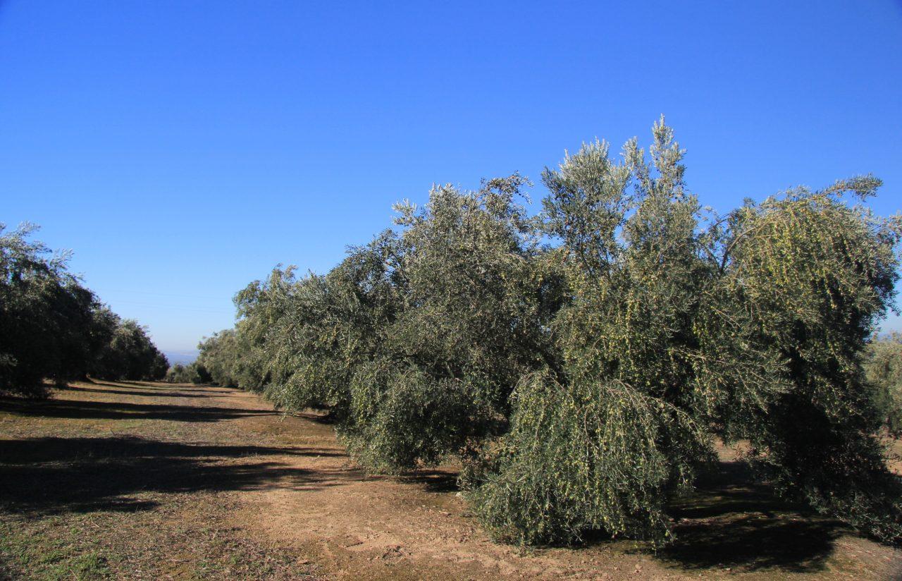 La UJA organiza un seminario científico sobre la rentabilidad del olivar de Jaén