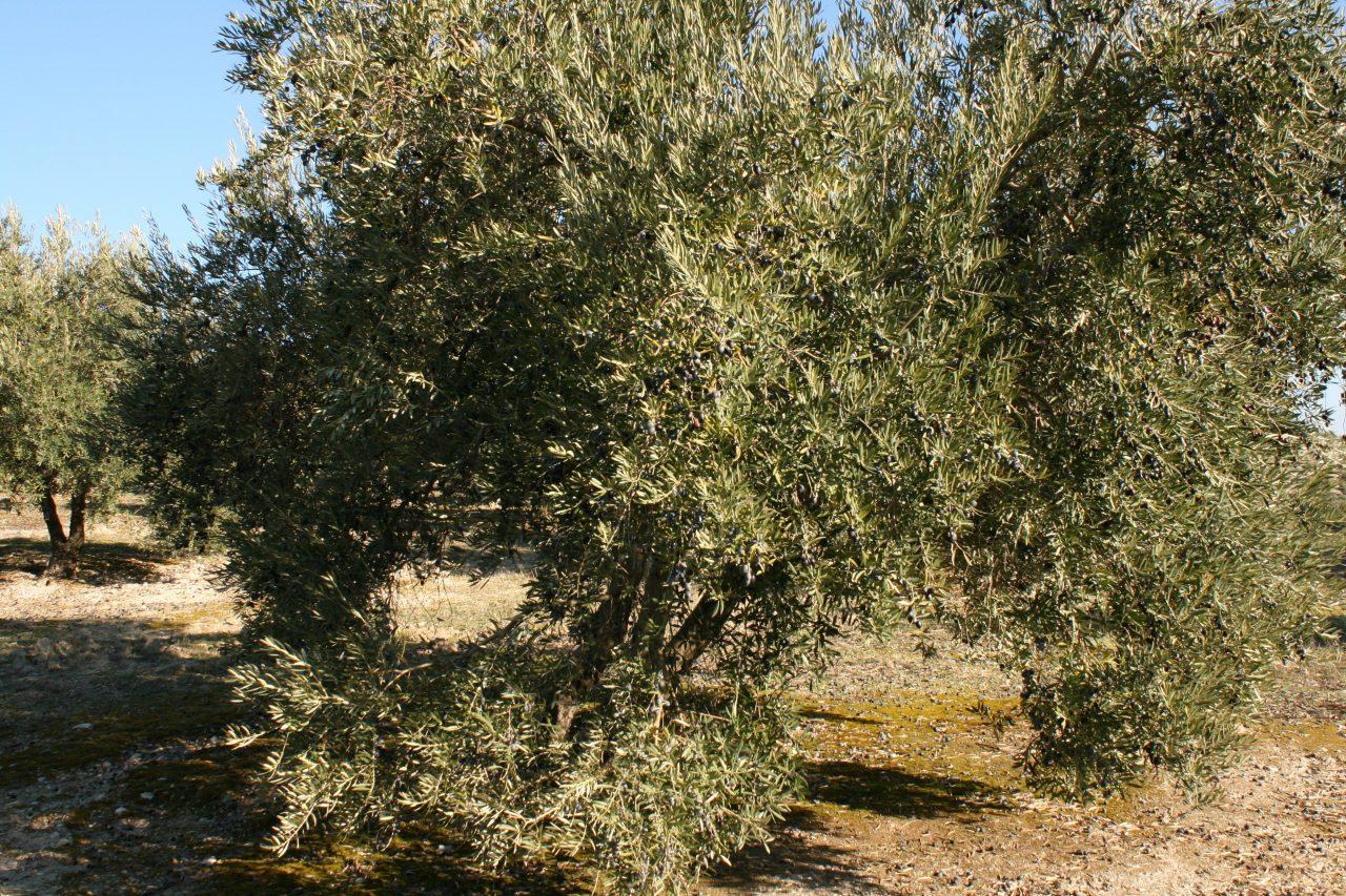 Más de un millón de toneladas de aceite de oliva se han comercializado hasta junio