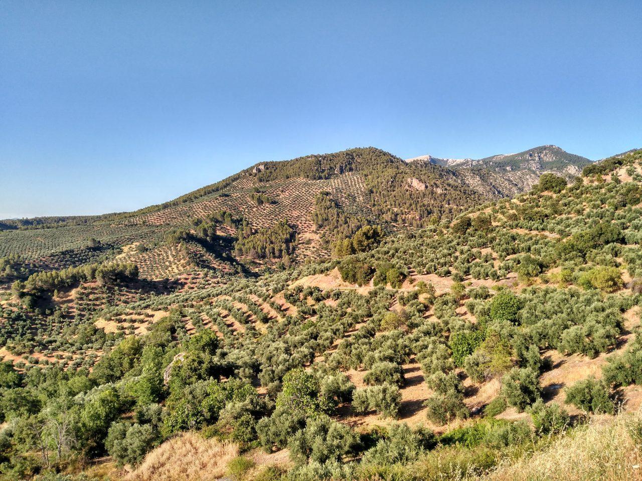 La DO Sierra de Segura inicia el control contra la mosca del olivo