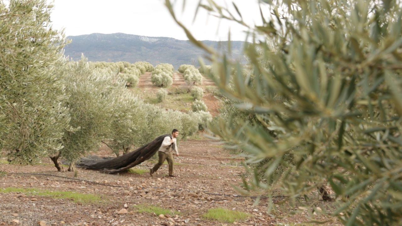 La DOP Sierra de Segura prevé unas 30.000 toneladas de aceite de oliva en esta campaña