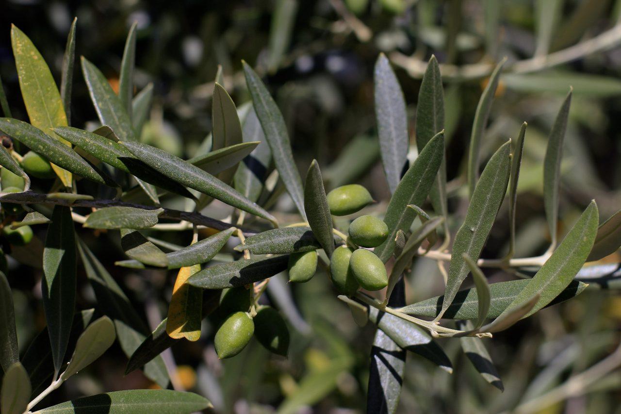 COAG Andalucía calcula pérdidas de un 25% en la producción de aceite de oliva