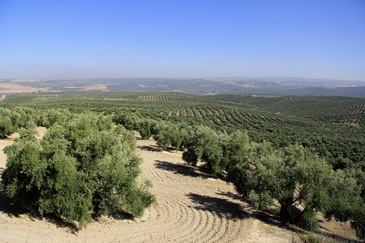 UPA-Jaén valora la ampliación del riego extraordinario al olivar hasta el 15 de octubre