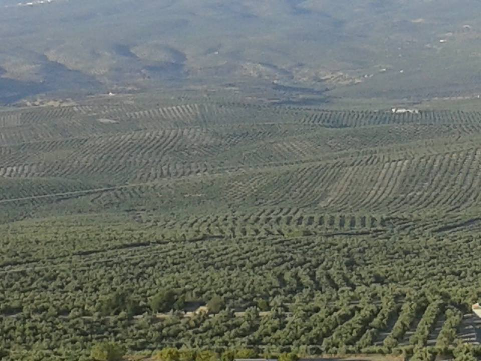 Comienza la campaña oleícola con un enlace final de unas 331.000 toneladas de aceite de oliva