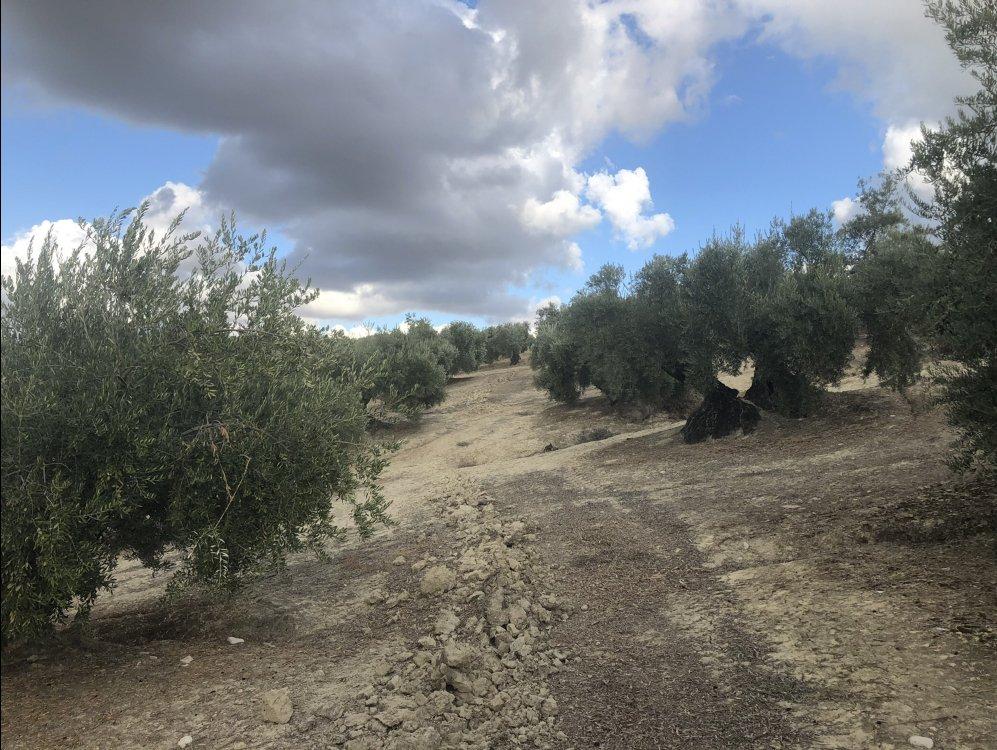 UPA Jaén lanza un mensaje de tranquilidad a los olivareros y defiende medidas para un reparto de la PAC más justo y social