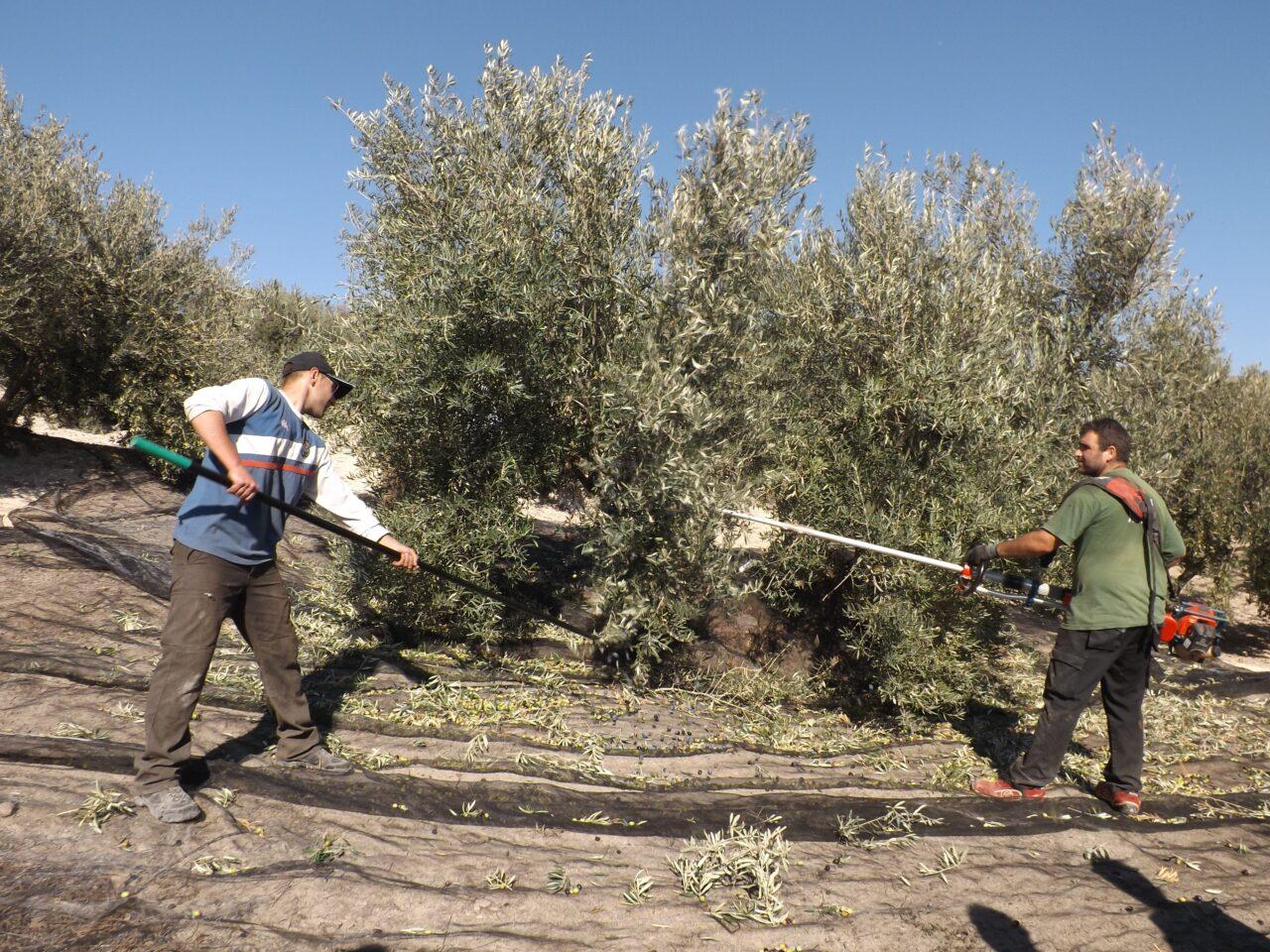 La DO Sierra Mágina calcula que ya se han producido 32.000 toneladas de aceite de oliva en una campaña en la que se ha recogido el 80% de la cosecha