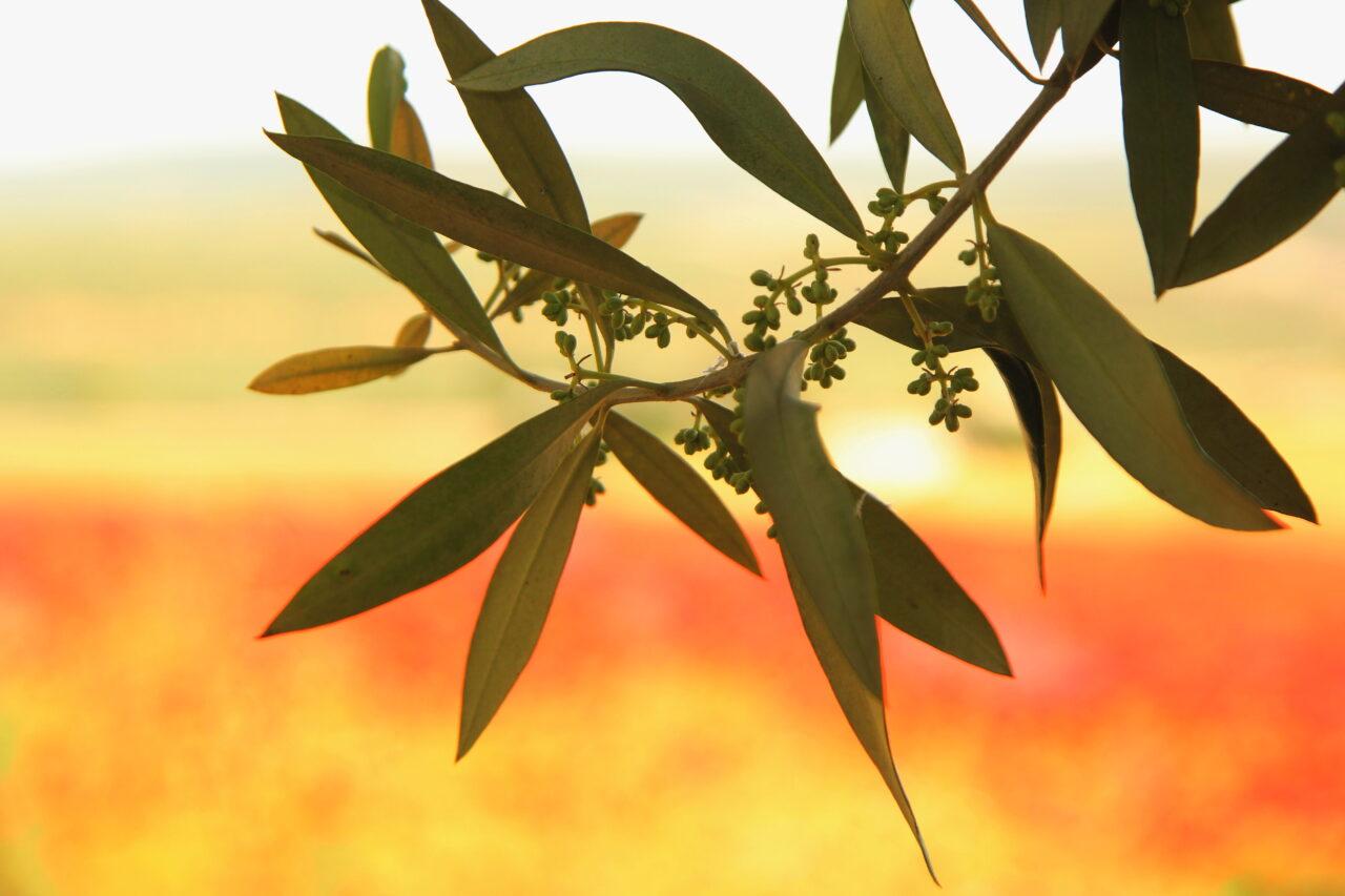 Los precios del aceite de oliva no tocan techo: el virgen extra continúa su escalada, el virgen ya supera los tres euros el kilo y los lampantes se acercan a esta cantidad