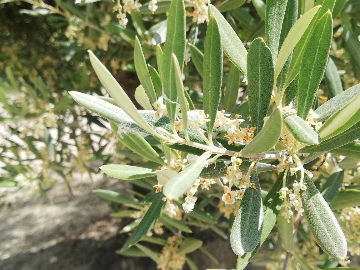 El polen del olivo se sitúa por primera vez en el nivel bajo en Jaén desde el inicio de la floración