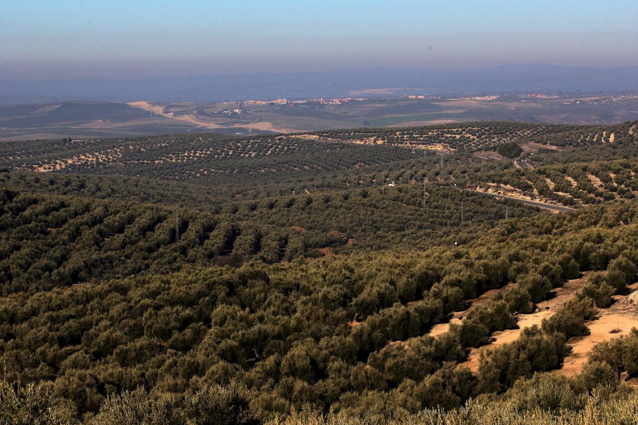 COAG-Jaén denuncia previsiones de producción mundial de aceite «interesadas y falsas»