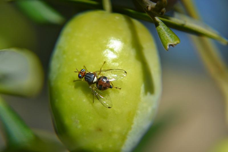 La DO Sierra Mágina ultima el tratamiento contra la mosca del olivo