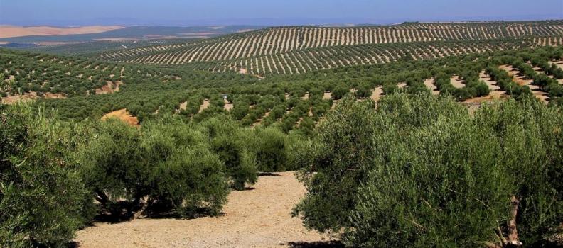 El sector productor aventura que la tendencia de los precios del aceite de oliva será la de mantenerse