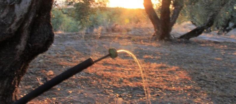 Un informe de Juan Vilar Consultores revela que el olivar de regadío produce más de la mitad del aceite de oliva del planeta