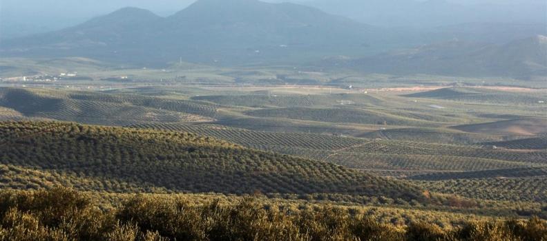 Los dos primeros meses de campaña arrojan una producción de aceite de oliva de 180.000 toneladas y unas exportaciones de 165.000