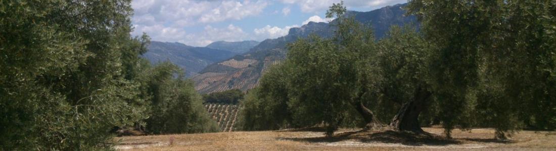 Más de 500.000 toneladas de aceite de oliva se han comercializado ya en esta campaña