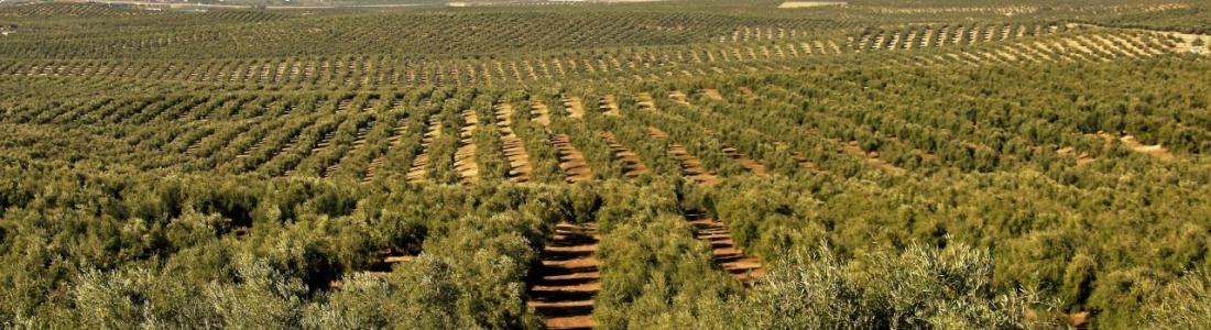 Agricultura descarta la presencia de «xylella» tras realizar más de 700 muestras en Jaén
