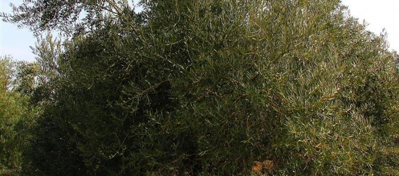 El foro «Terra Oleum» difundirá la cultura de la calidad del aceite de oliva basada en métodos científicos