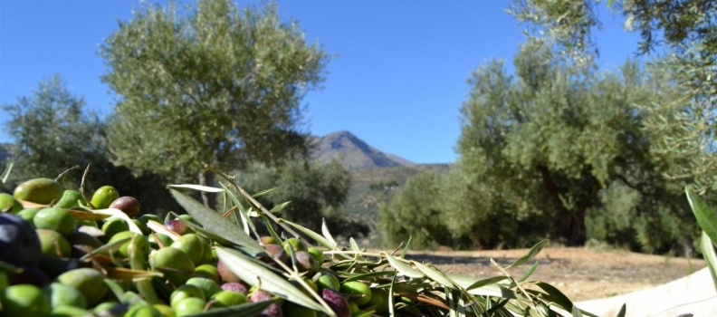 La COAG y la UPA alertan que la falta de lluvia amenaza la campaña agrícola y ganadera en Andalucía