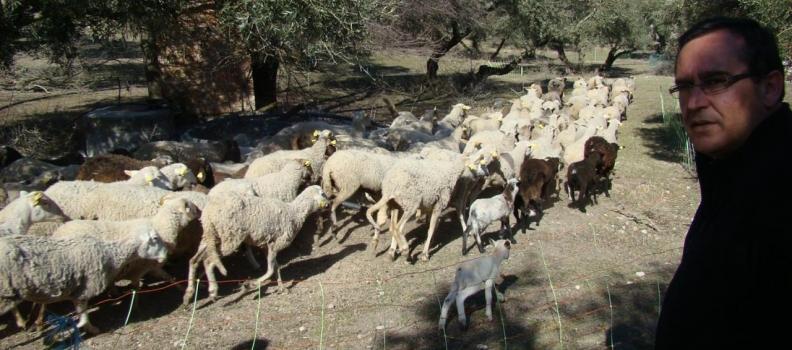 Un grupo de la UJA fomenta el pastoreo con ganado y el uso de cubiertas vegetales para favorecer el cultivo ecológico del olivar