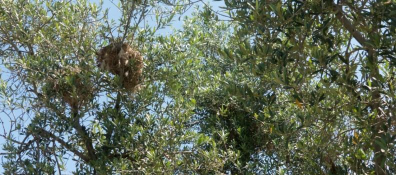 Presentada la primera guía de aves de la finca de olivar Cortijo Guadiana, que recoge más de 100 especies y con la que se pretende demostrar el potencial de este cultivo para recuperar naturaleza