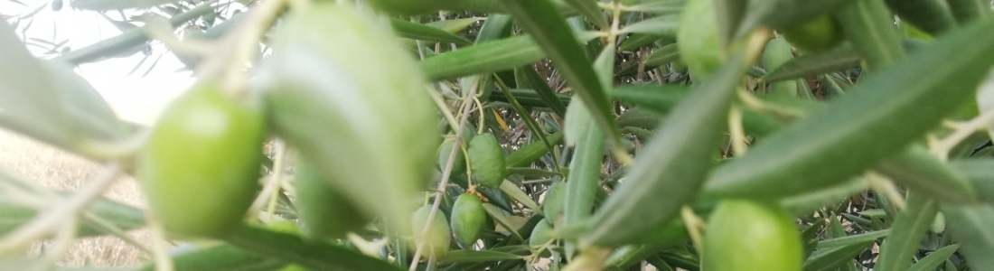 El segundo avance del aforo de cosecha de Interaceituna augura 558.000 toneladas de aceituna de mesa, aunque el resultado final podría ser superior por las recientes lluvias