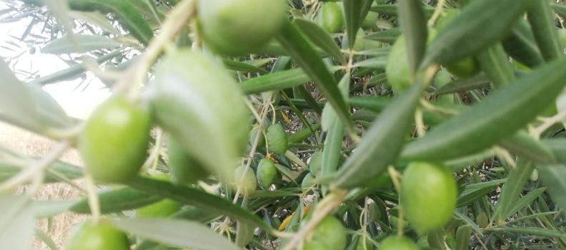 Cooperativas Agro-alimentarias de Jaén prevé una cosecha muy inferior al aforo oficial por la sequía extrema