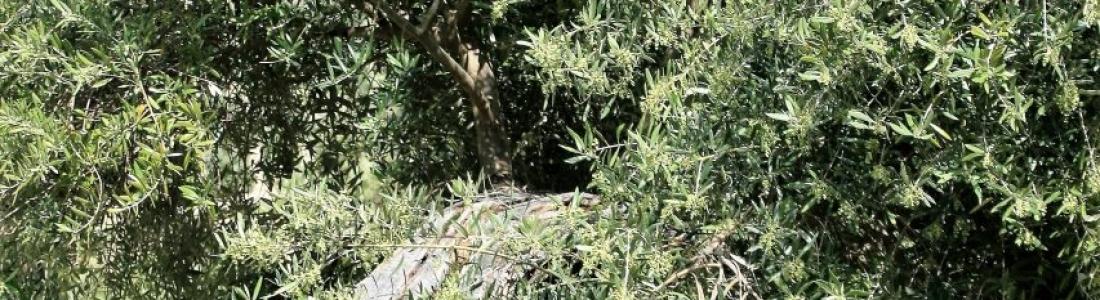 COAG-Jaén pide una rebaja fiscal para el olivar debido a la «severa sequía»