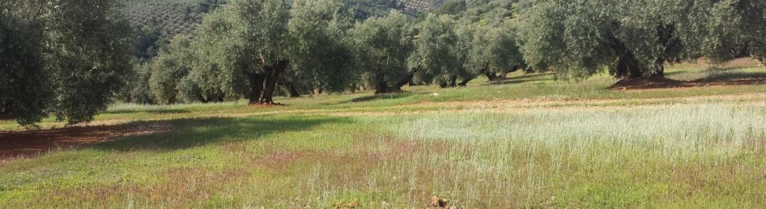 La DO Sierra Mágina cerrará la campaña oleícola con una producción similar a la pasada