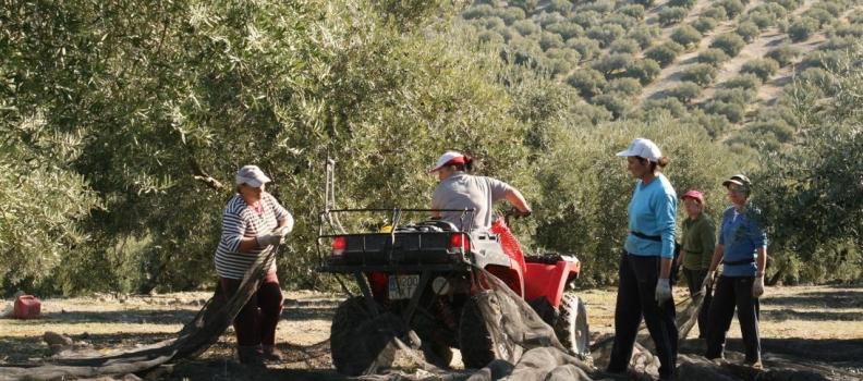 Asaja calcula en un 70% la recogida de la aceituna en Jaén en una campaña que se alargará por las lluvias