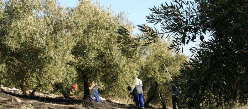 COAG-Jaén señala que la Seguridad Social «complica los trámites» para los olivareros al inicio de la recolección de la aceituna